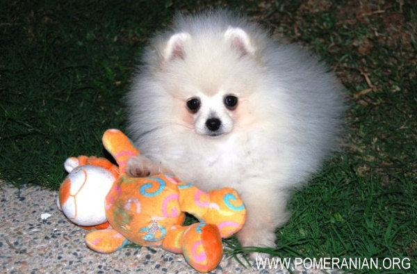 Dochlaggie Pomeranian Puppies Melbourne Purchase Information