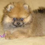 "The Pomeranian ""Mushu """