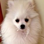 Dochlaggie Pomeranian puppy