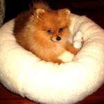 """The Pomeranian """"Max"""""""