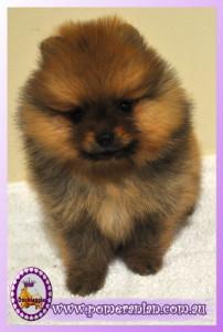 """The Pomeranian """" Spencer"""