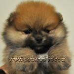 The Pomeranian Elton