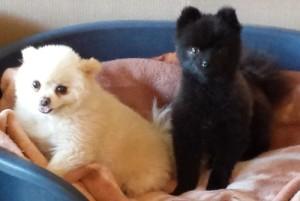 Dochlaggie Pomeranians
