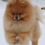 The Pomeranian Harry