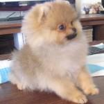 Dochlaggie  Pomeranian