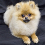 "The Pomeranian "" Jax"""