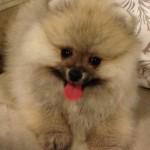 Cream sable Dochlagie Puppy