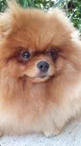 The Pomeranian Rowdy