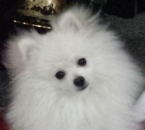 "The Pomeranian ""Smurf"""