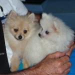 Dochlaggie Pomeranian puppies