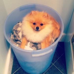The Pomeranian Teddy G.