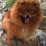 The Pomeranian Beau