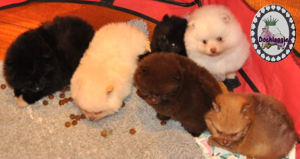 Dochlaggie Pomeranian puppies in chocolate, beaver, black