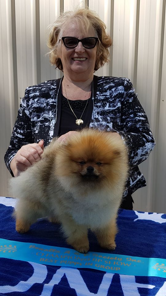 Pomeranian, Results, Benalla Agricultural Show, 2017, Dochlaggie Dark N Dangerous, wins, BEST PUPPY IN GROUP, BEST OF BREED