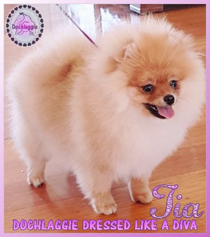 Pomeranian Puppy for Sale Melbourne