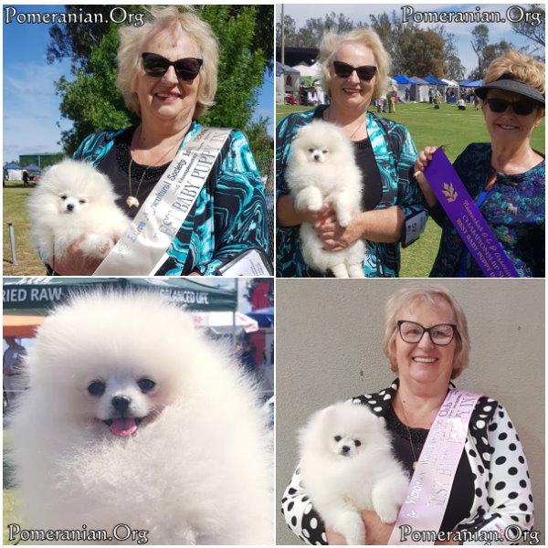 White Pomeranian