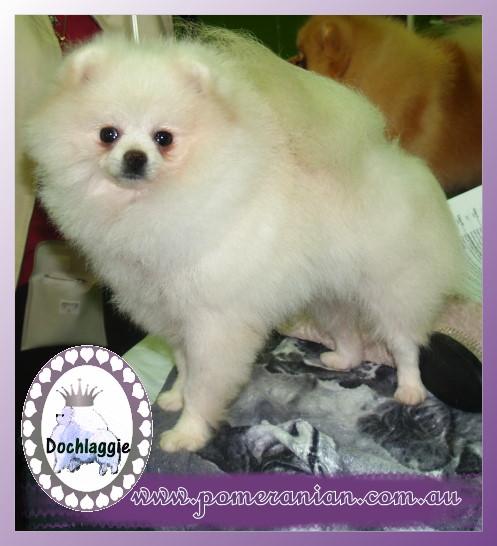 white Pomeranians