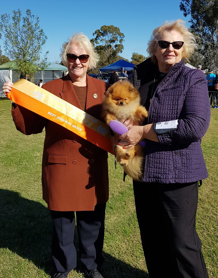 Pomeranian Champion Dochlaggie Dark N Dangerous aka Digger winning Best of Breed Pomeranian and Best Junior in the Toy Group at Shepparton Show, May 2018.