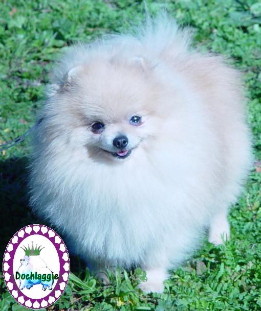 Dochlaggie Pomeranians Melbourne Australia -