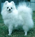 Dochlaggie White Pomeranians