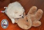White Pomeranian pup